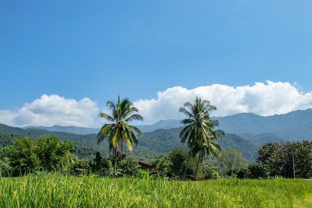 Green rice paddy fields and is soon up to the seed harvest background coconut trees and mo