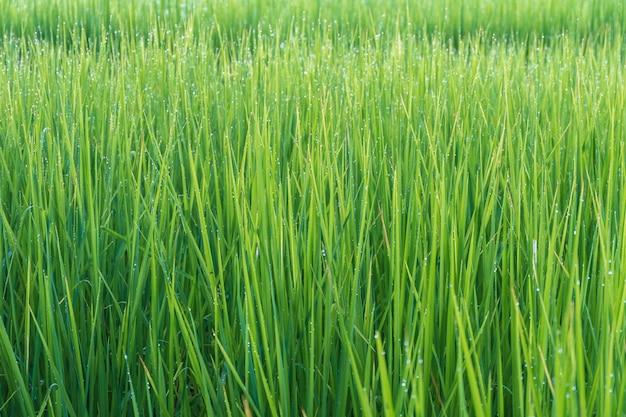 Зеленый рисовый завод фон с каплями воды