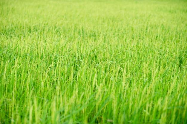 Green rice plants in the fields of farmers