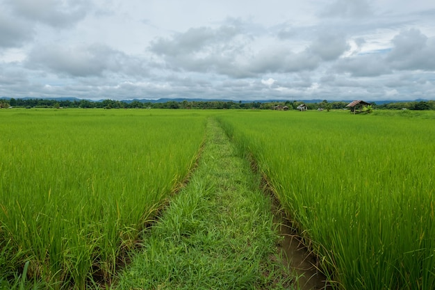 空を背景に野原にある緑の稲