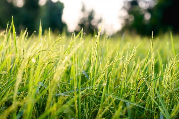 농민 분야의 녹색 벼 프리미엄 사진