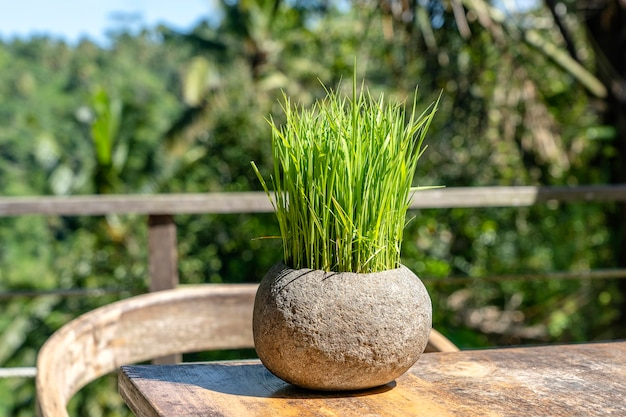 인도네시아 발리 섬의 열대 정글 옆에 있는 빈 카페의 나무 탁자에 있는 돌 화분에 든 녹색 쌀이 닫혀 있습니다.