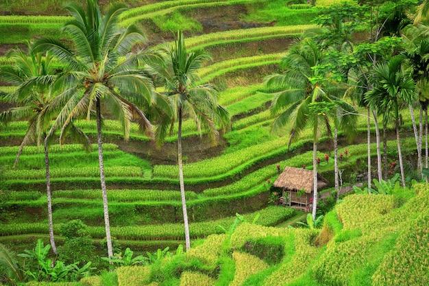 Зеленые рисовые террасы тегалаланг недалеко от убуда, бали, индонезия