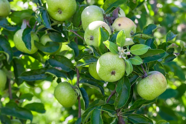 Green ripe apples grows on a branch among the green foliage.