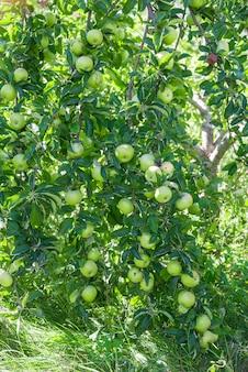緑の熟したリンゴは、緑の葉の間の枝に生えています。 Premium写真