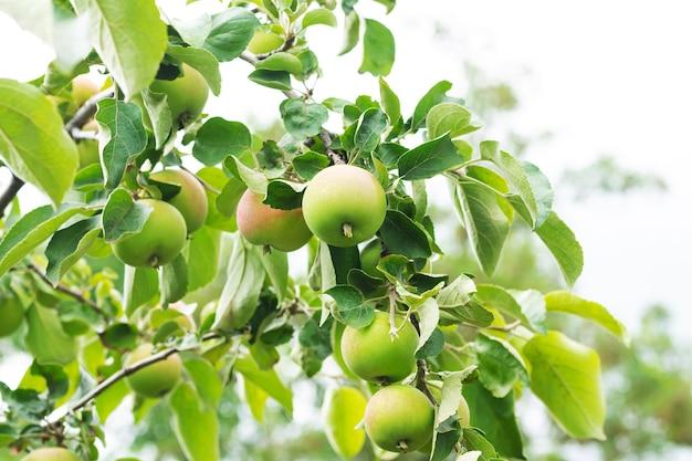 地元のエコファームで収穫する準備ができている木の枝の緑の熟した有機リンゴ