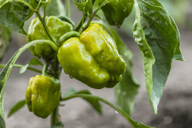 Green ripe pepper with water drops on plant. summer harvest. tasty vegetable. organic and healthy food. vegetarian nutrition.
