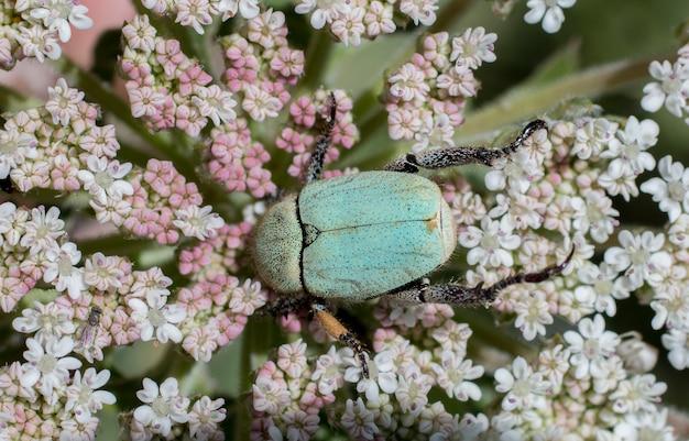 Зеленый жук майский (cetonia aurata) жук