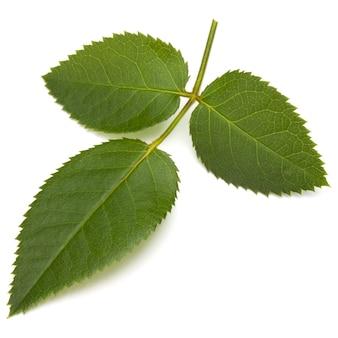 白い背景の切り欠きに分離された緑のバラの葉