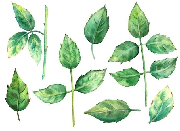 녹색 장미 잎 흰색 배경에 고립입니다. 수채화 그림, 클립 아트입니다.
