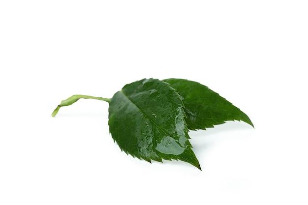 Листья зеленой розы, изолированные на белом фоне