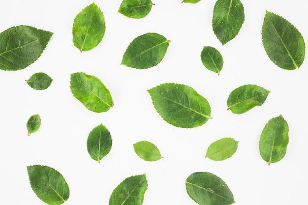 Le foglie delle rose verdi si sono sparse su fondo bianco
