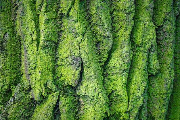Текстурированный фон зеленой грубой мшистой коры дерева