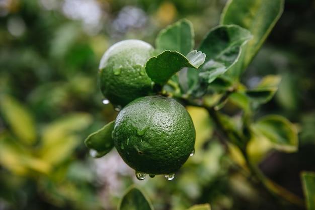 가까이에 녹색 라운드 과일