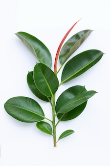 Green rubber plant leaves on white