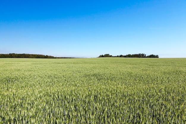 Зеленое поле ржи и голубое небо.