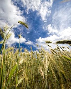 녹색 호밀밭 프리미엄 사진