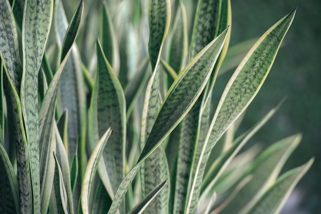 Green sansevieria trifasciata plant.