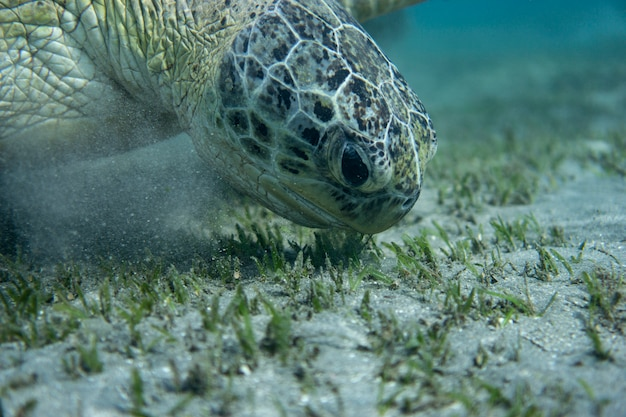 Green sea turtle at the bottom of the sea