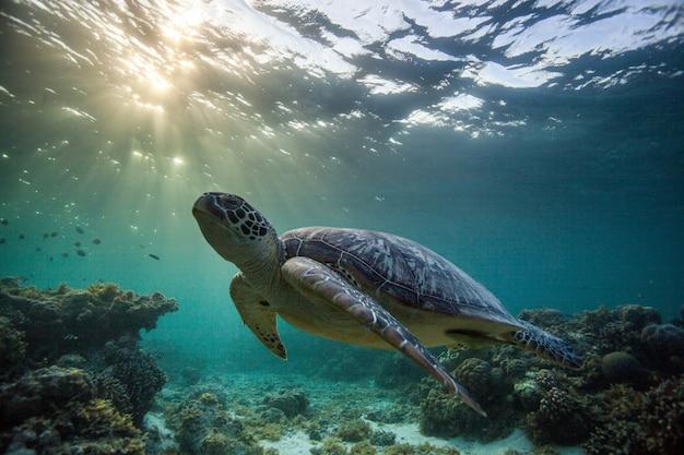 Зеленая морская черепаха под морем в себу, филиппины