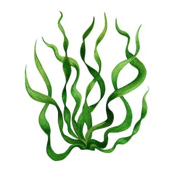 Зеленые водоросли, изолированные на белом. акварель рисованной окрашенные иллюстрации.