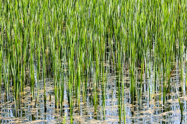 Green sedge, growing in muddy water swamps. spring, close-up. small depth of field