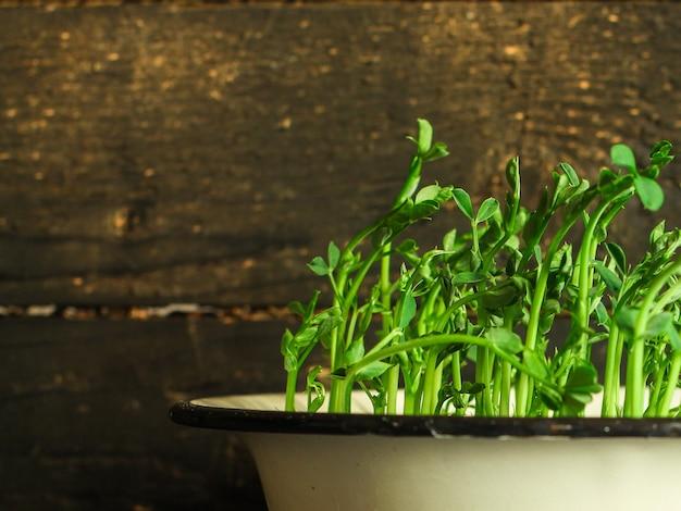 Green seedling of grain, micro greens (seedlings in the ground, watered)
