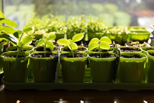 Зеленые саженцы в горшках на окне