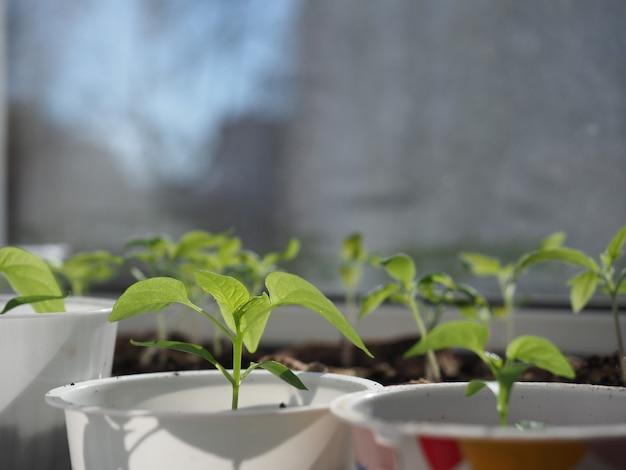 Green seedlings of sweet pepper growing in flowerpots at window closeup