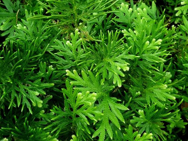 緑のイワヒバ植物は背景を残します
