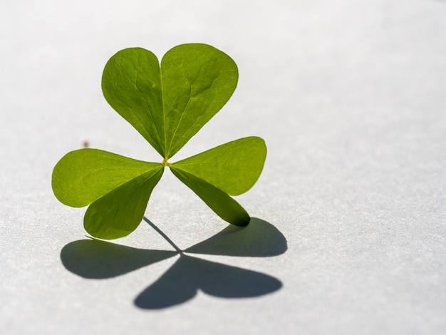 Green shamrock with leaves in the shape of a heart casts shadow