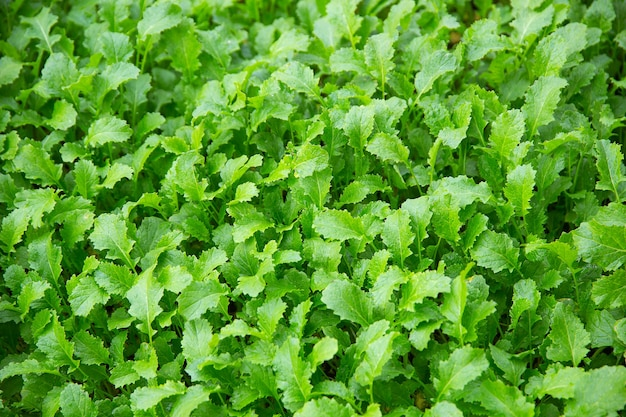 秋に播種された若いカラシナの緑の芽