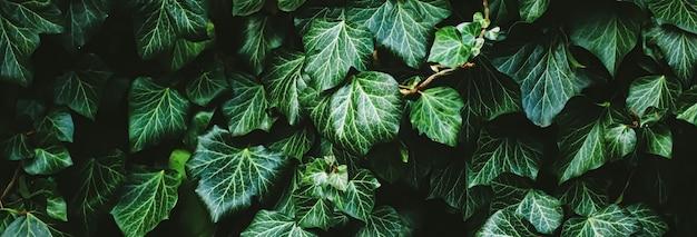 植物のテクスチャ自然の背景と植物のデザインとして緑の低木壁