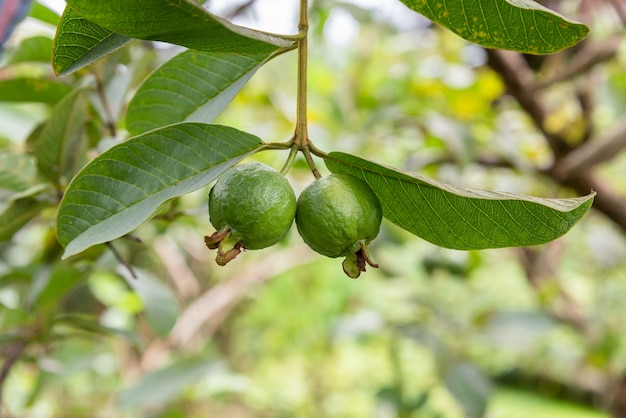 Green small guava fruit on tree and green leaf