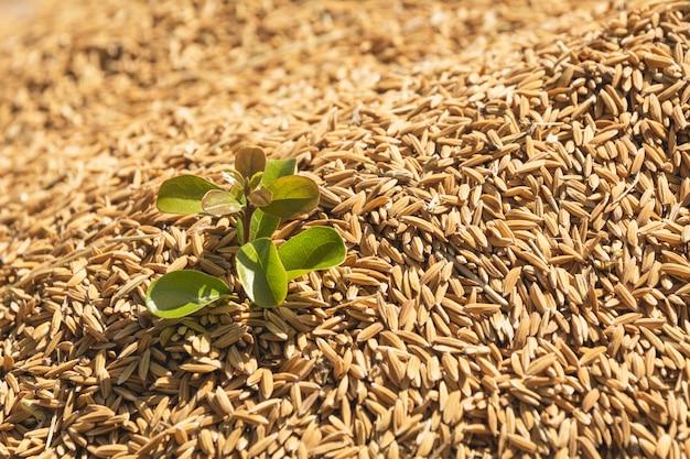 갈색 생 쌀된 쌀, 태국 쌀 배경에 녹색 작은 공장.