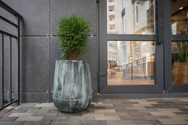 Green small spherical chinese thuja in a concrete pot near the house at the entrance. traditional home decorations. entrance to the building, a pot of flowers and a small thuja.