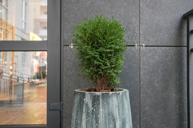Зеленая небольшая шаровидная китайская туя в бетонном горшке возле дома у подъезда. традиционные украшения для дома. подъезд к зданию, горшок с цветами и небольшая туя.