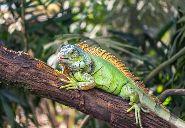 A green smiling big iguana is lying on a tree branch