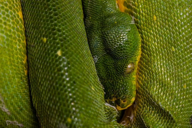 Green snake in close-up view to the eye