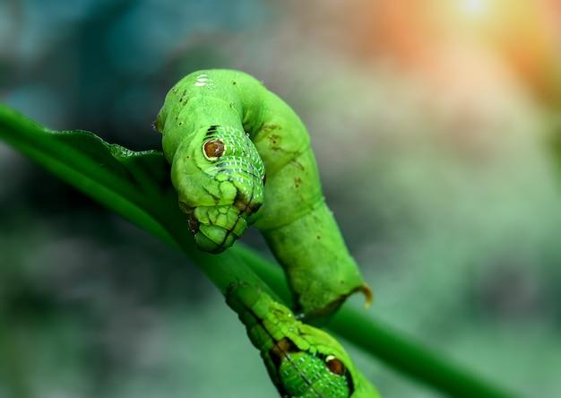 야외 조명에 흐릿한 배경을 가진 녹색 뱀 머리 애벌레.