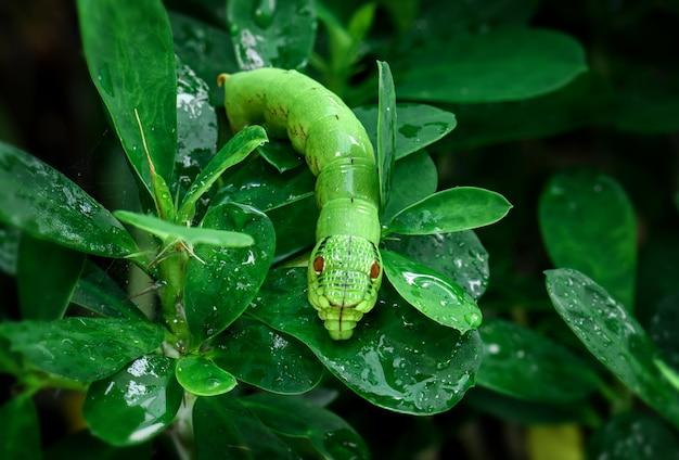 야외 조명에 젖은 잎이 있는 녹색 뱀 머리 애벌레.