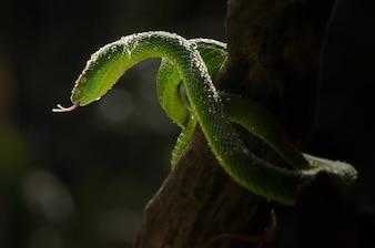 Green Snake Red Tail Trimeresurus  albolabris