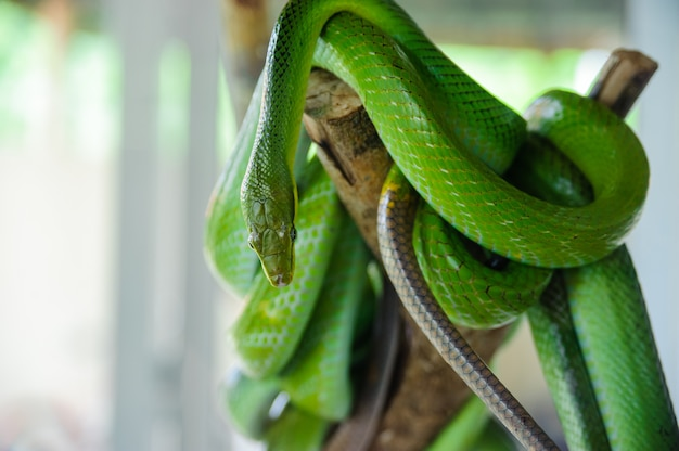 Green snake on a tree. snake farm in thailand