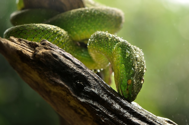 Green snakes and dew