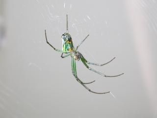 Green spider, bug