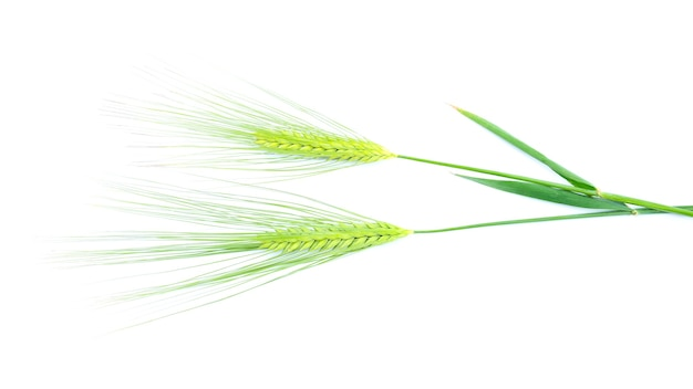 Green spikelets of barley isolated on white background