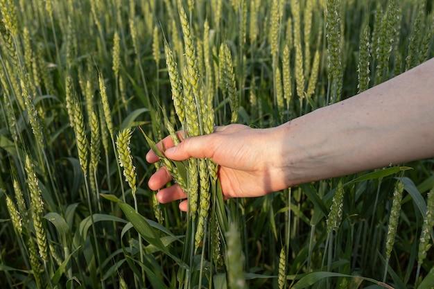 밀 필드의 배경에 여자의 손에 녹색 spikelets. 품질 관리. 유기농업, 농업의 개념입니다.