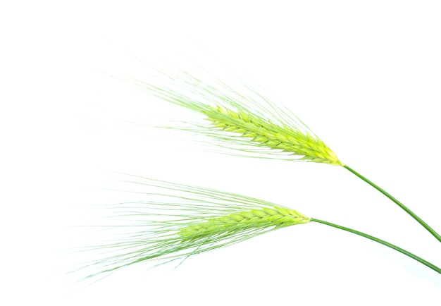 白い背景で隔離の大麦の緑の小穂