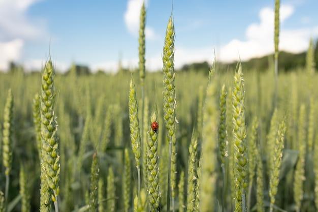 석양의 광선에 필드의 배경에 무당벌레와 녹색 이삭. 유기 농업, 농업 해충의 개념입니다. 선택적 초점