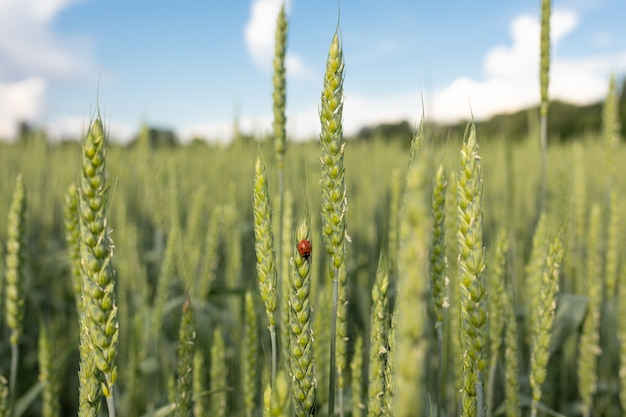 Green spikelets with a ladybug on the background of a field in the rays of the setting sun. concept of organic farming, agricultural pests. selective focus